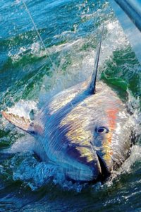 nova-scotia-bluefin-josh-temple_0-683x1024[1]